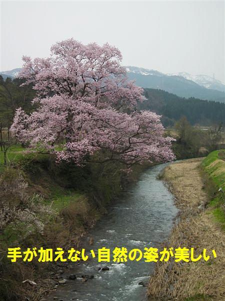 1本桜を求めて (3)