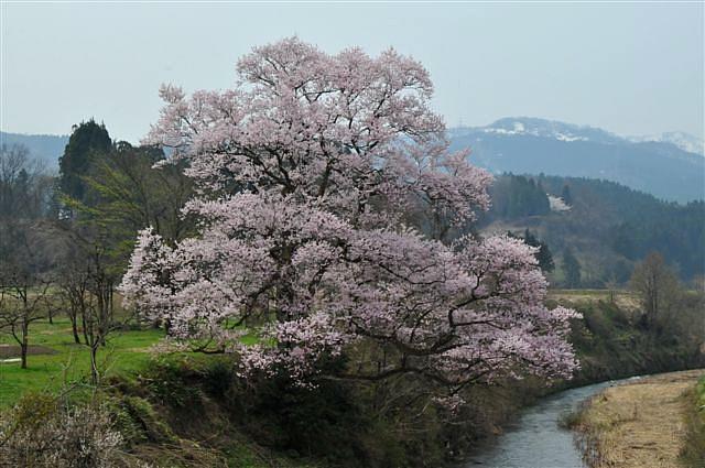 1本桜を求めて (6)