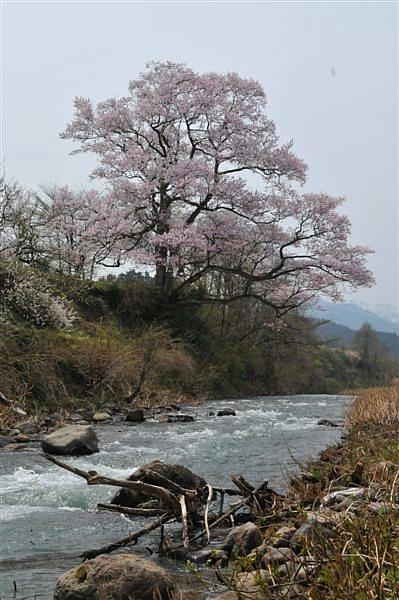 1本桜を求めて (8)