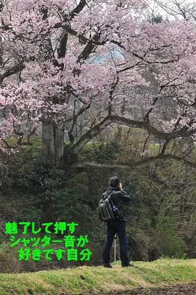 1本桜を求めて (10)