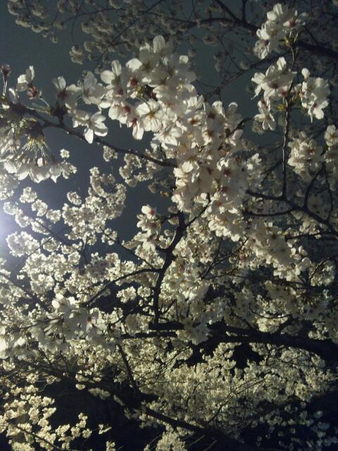 sakura_white.jpg