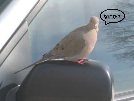 鳩です005