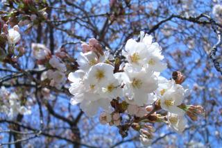 桜4_100327