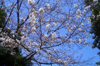 桜1_100327