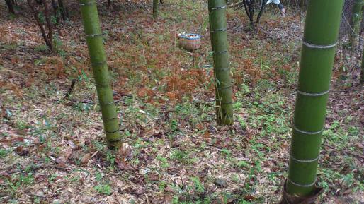 竹の子 1