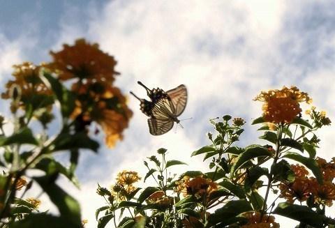 蝶の居る風景(ナミアゲハ)