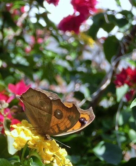 蝶の居る風景(タテハモドキ)