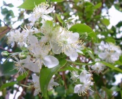 ピタンガの花