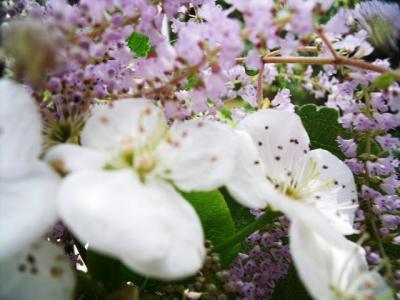 フブキバナと梨の花