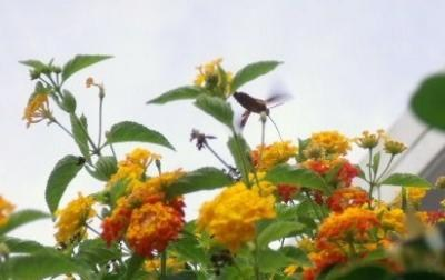 ランタナと昆虫