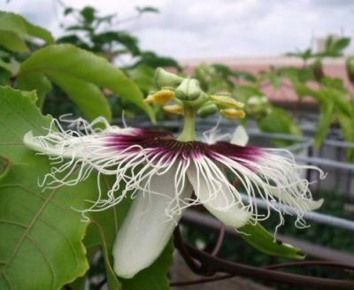 パッションフル-ツの花
