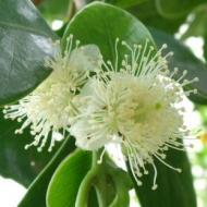 グアバの花