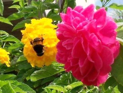 花とオオハナアブ