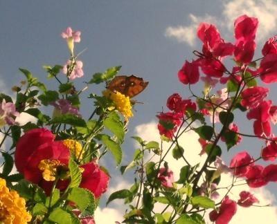 花とタテハモドキ