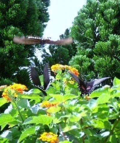 庭の植物とチョウ