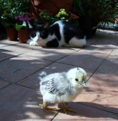 ネコとヒヨコ