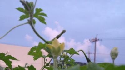 ゴ-ヤ-の花と空