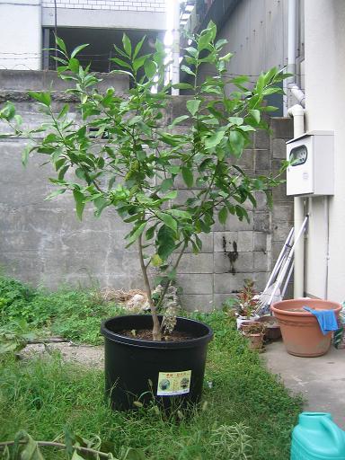 レモンの木2012年8月