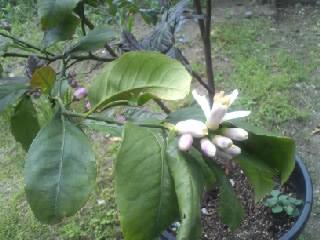 レモンの木に花が咲いた!2