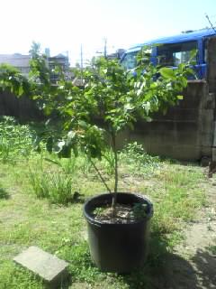 レモンの木の成長