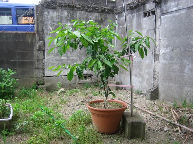 レモンの木(12年7月)