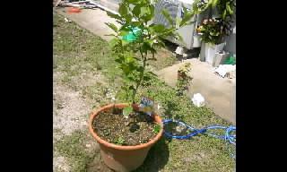 レモンの木の成長②