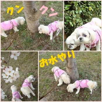 クンクン桜4連