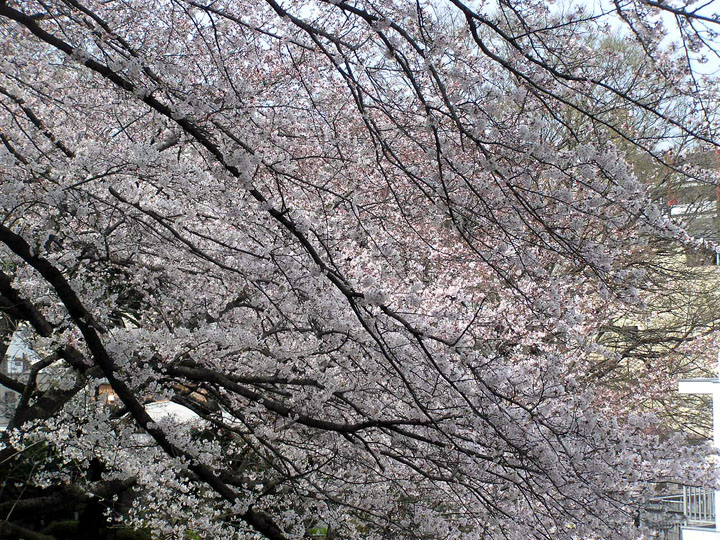 kamonyama sakura