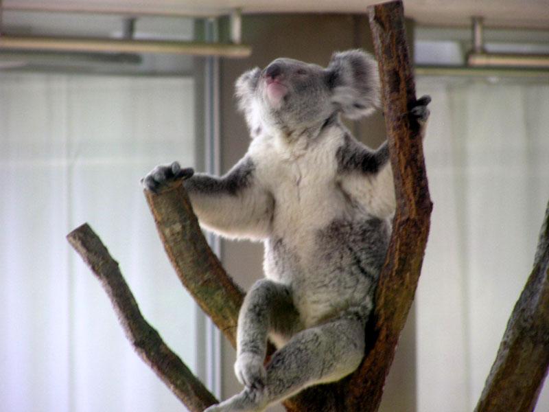 kamazawa zoo koala
