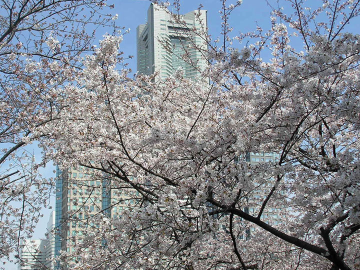 sakura and landmark tower