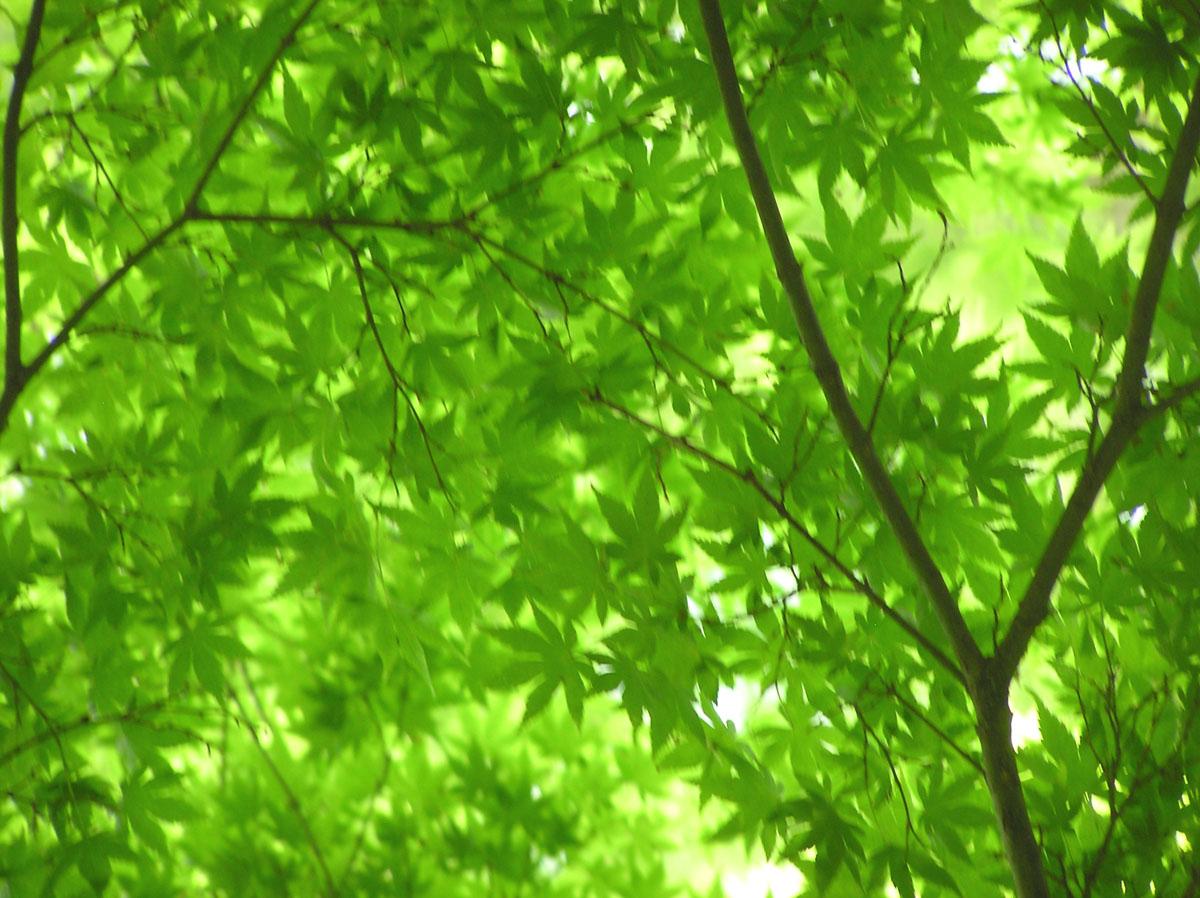 momiji aoba 2011-05-03 myouhonji big