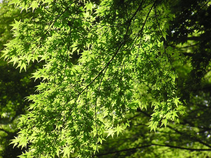 momiji aoba 2011-05-03 myouhonji 3