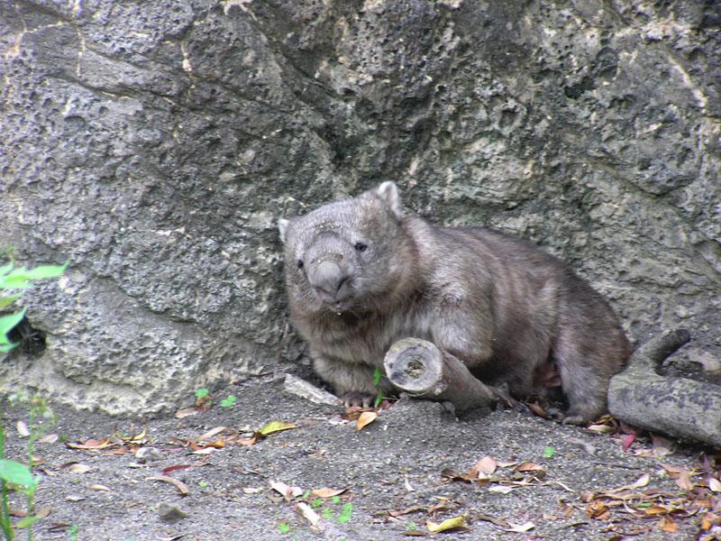 kamazawa zoo common wombat