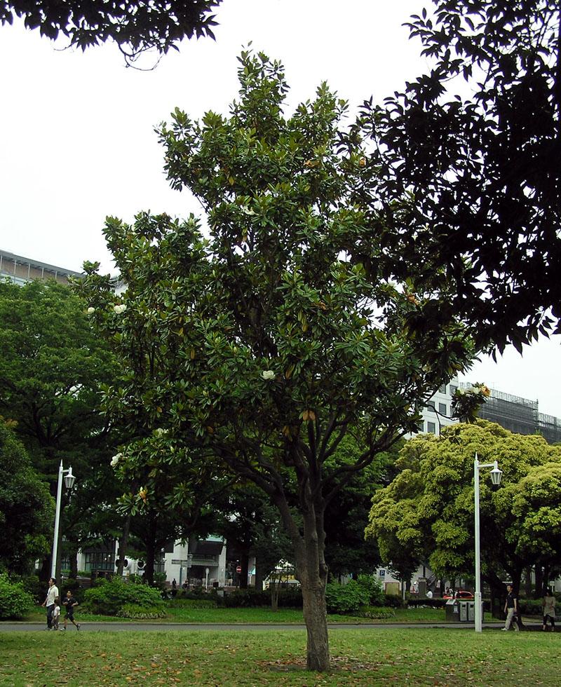 taisanboku