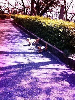 A10.04.13 010桜の木下2ワン