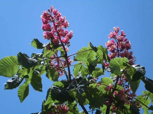 トチノキ(赤花)