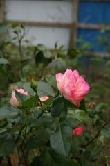 Bloom庭のバラ2