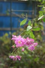 Bloom庭のバラ