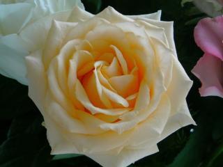 花束のバラ2