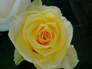花束のバラ3