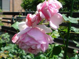 ポンパドゥール夫人 二番花