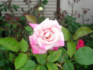 マリ様2番花