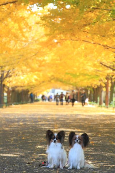 IMG_2648昭和記念公園 銀杏昭和記念公園 銀杏