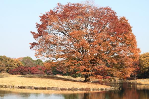 IMG_2660昭和記念公園 銀杏昭和記念公園 銀杏