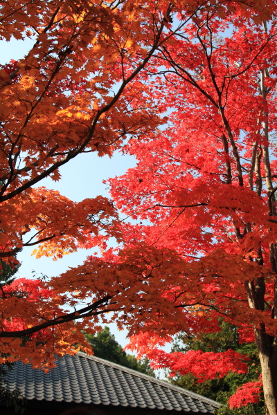 IMG_2700昭和記念公園 銀杏昭和記念公園 銀杏