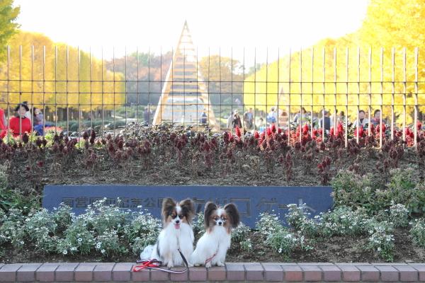 IMG_2768昭和記念公園 銀杏昭和記念公園 銀杏