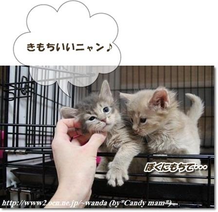 ソマリ 子猫写真