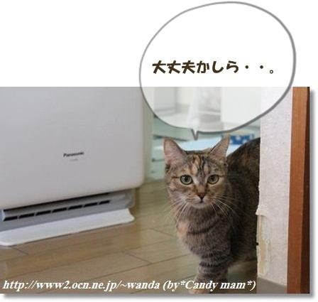 マンチカン:鈴ママ