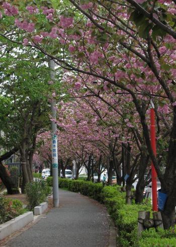 千早町八重桜
