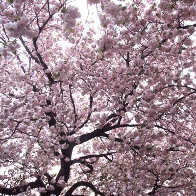向原公園八重桜